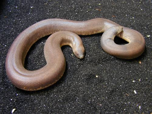 an Indian Sand Boa from http://www.eastbayvivarium.com/gallery/snakesgallery/indiansandboa.html
