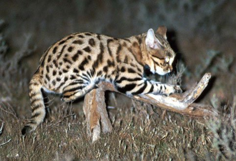 Male African Black-Footed Cat sharpens his claws - http://www.wildcatconservation.org/Black-footed-Cats.html