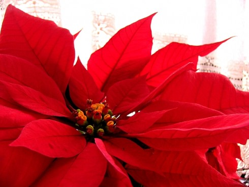 Poinsettia found at http://strawberrysweetdream.wordpress.com/
