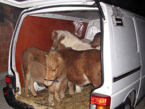 From: http://www.express.co.uk/posts/view/358383/That-doesn-t-look-very-stable-Ten-horses-found-crammed-into-van